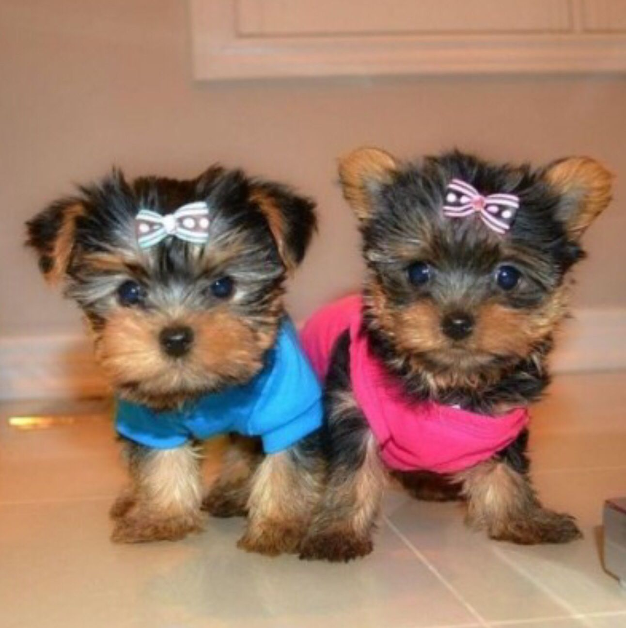 I want them 💙💗 Yorkie puppy, Yorkshire terrier puppies