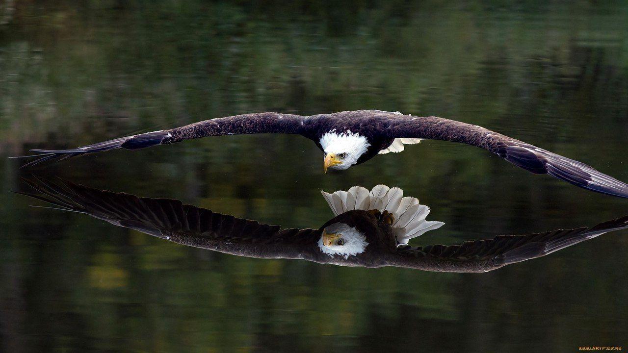 Новости | Хищные птицы, Белоголовый орлан и Животные