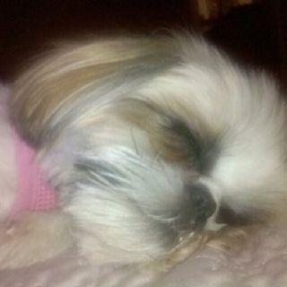 Night Night Shih Tzu Lola Shih Tzu Dog Shih Tzu Shih Tzu Puppy
