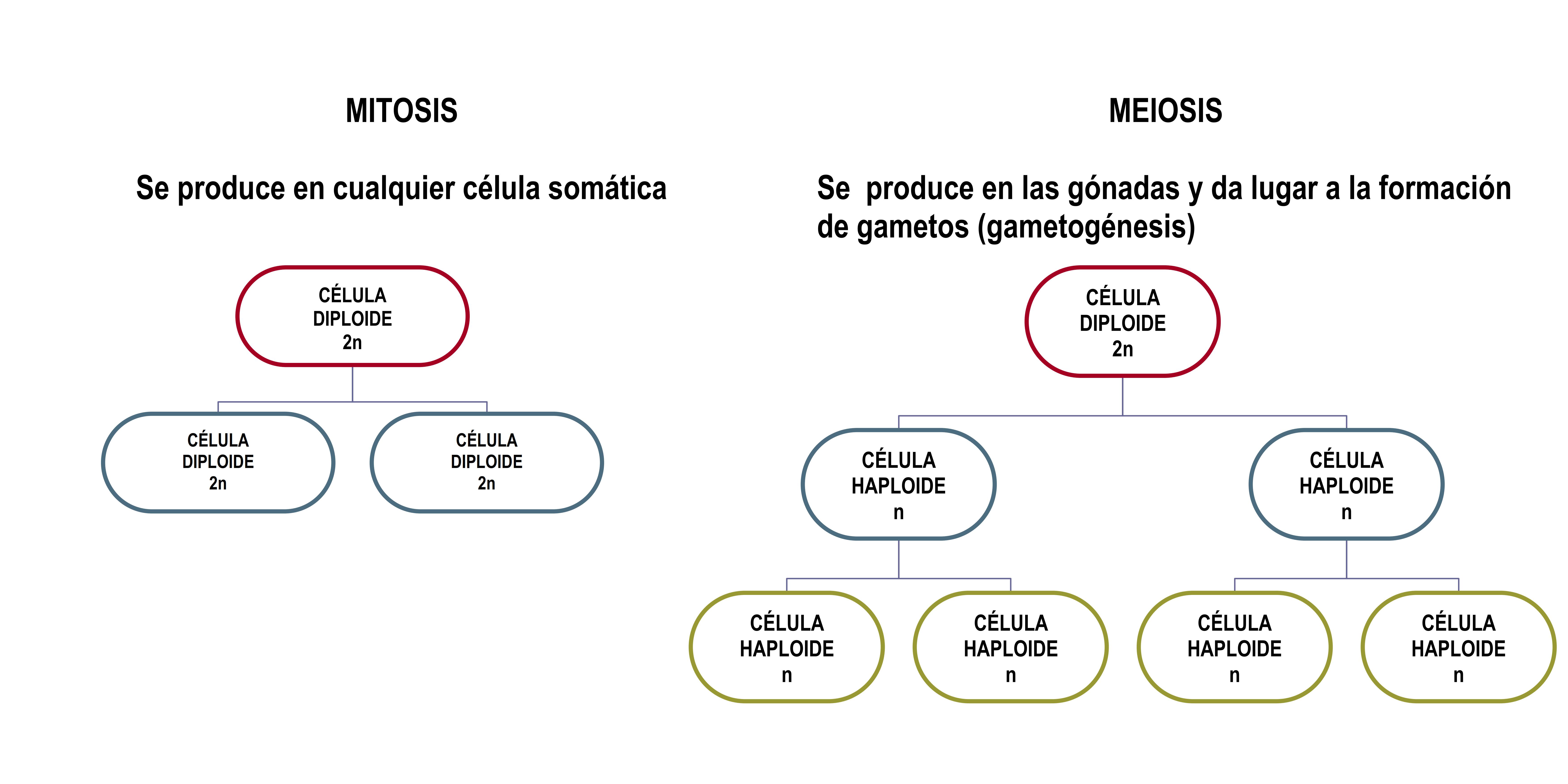 Esquema Basico De La Mitosis Meiosis Mitosis Mitosis Y Meiosis Plantillas Para Invitacion De Cumpleanos
