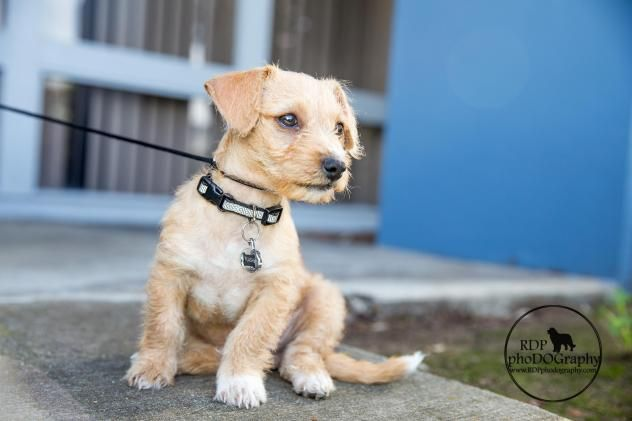 Adopt Flash On Norwich Terrier Terrier Mix Dogs Terrier Mix