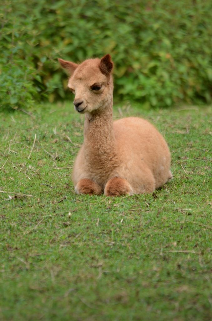 A baby lama! It is so adorable!!!