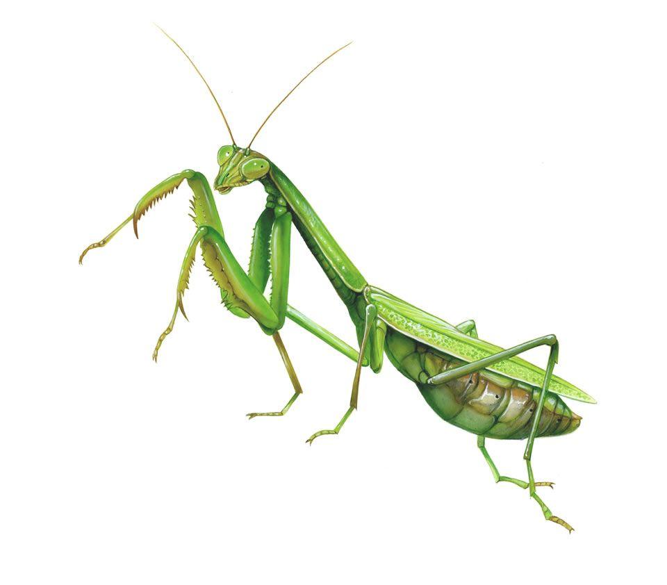 Praying Mantis | Insects [Flash Cards] | Pinterest | Praying ...