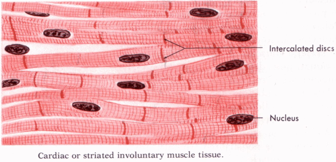 Labeled Cardiac Muscle Human Anatomy Drawing Muscle Human
