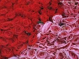 Image result for Roses the flowers