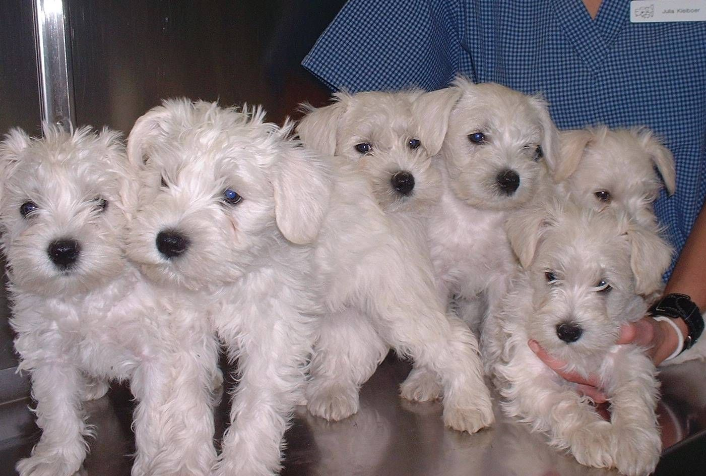 White Schnauzers Smartest Dogs Dog Friends Cute Animals