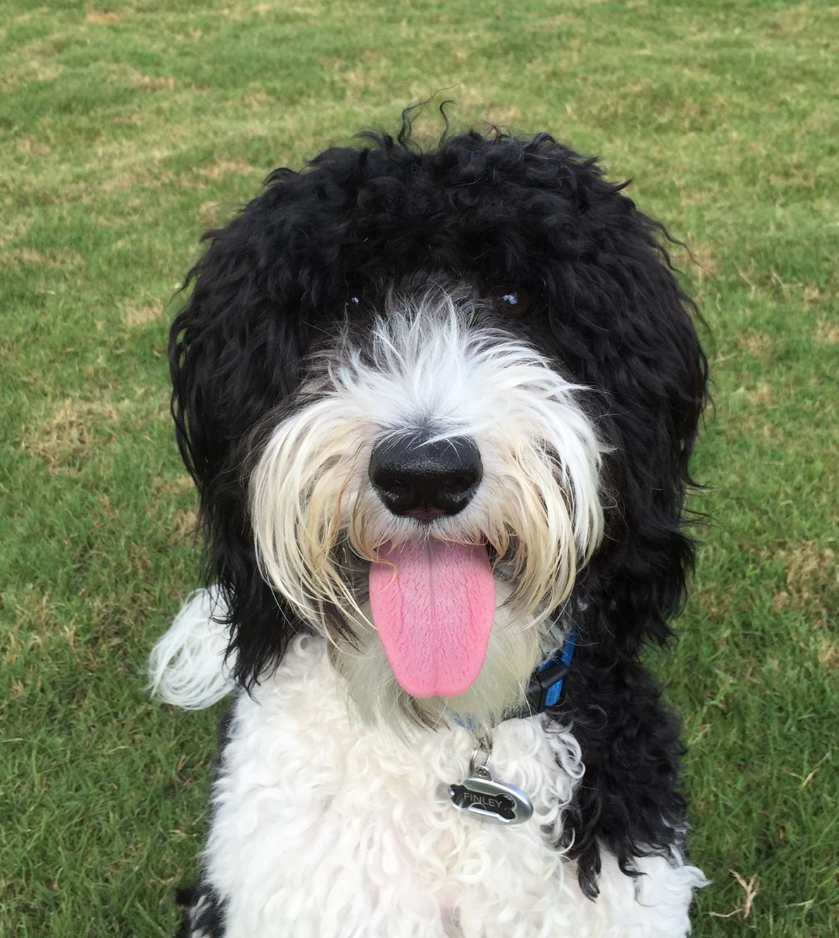 Black And White Parti Goldendoodle Love Goldendoodle Black