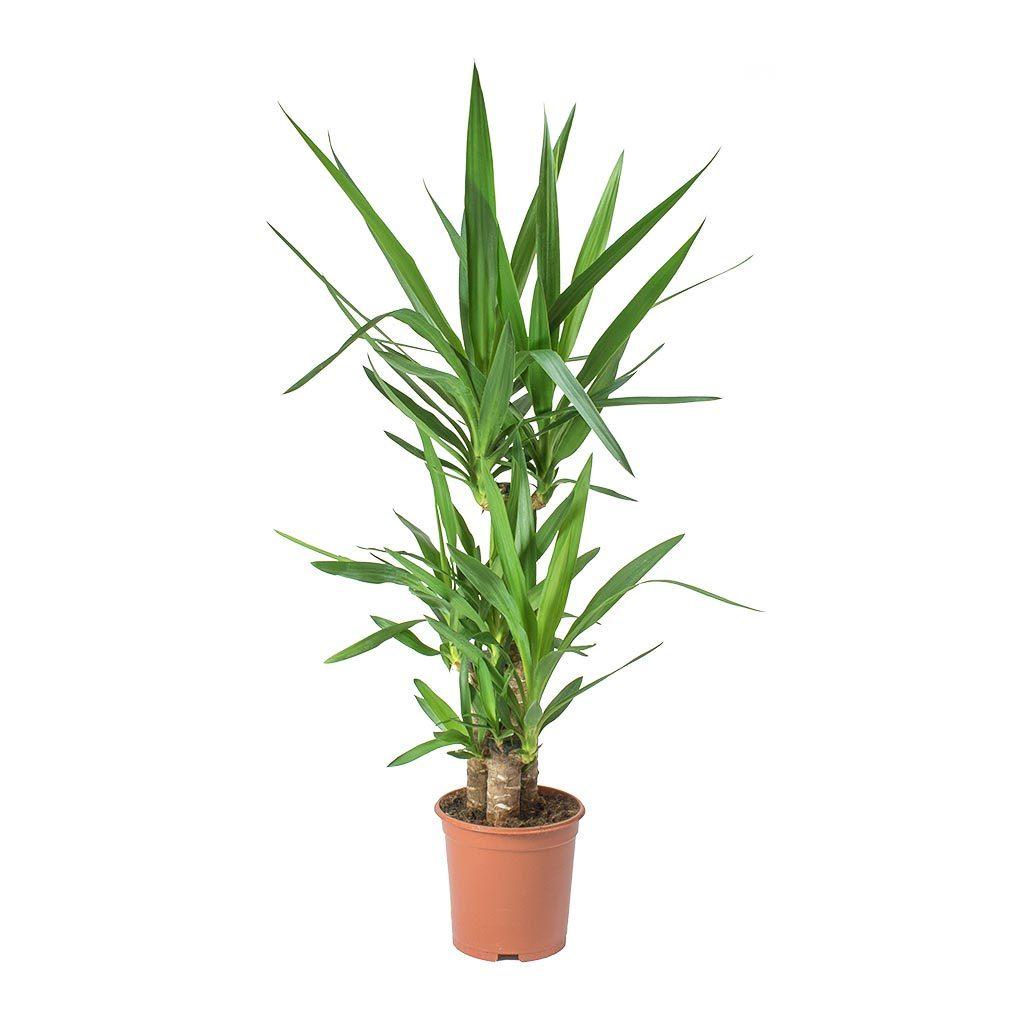 Yucca elephantipes Spineless Yucca 21 x 90cm (3 stems