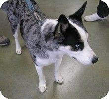 Patches Adopted Dog Creston Bc Blue Heeler Husky Mix Blue Heeler Australian Cattle Dog Mix Cattle Dogs Mix