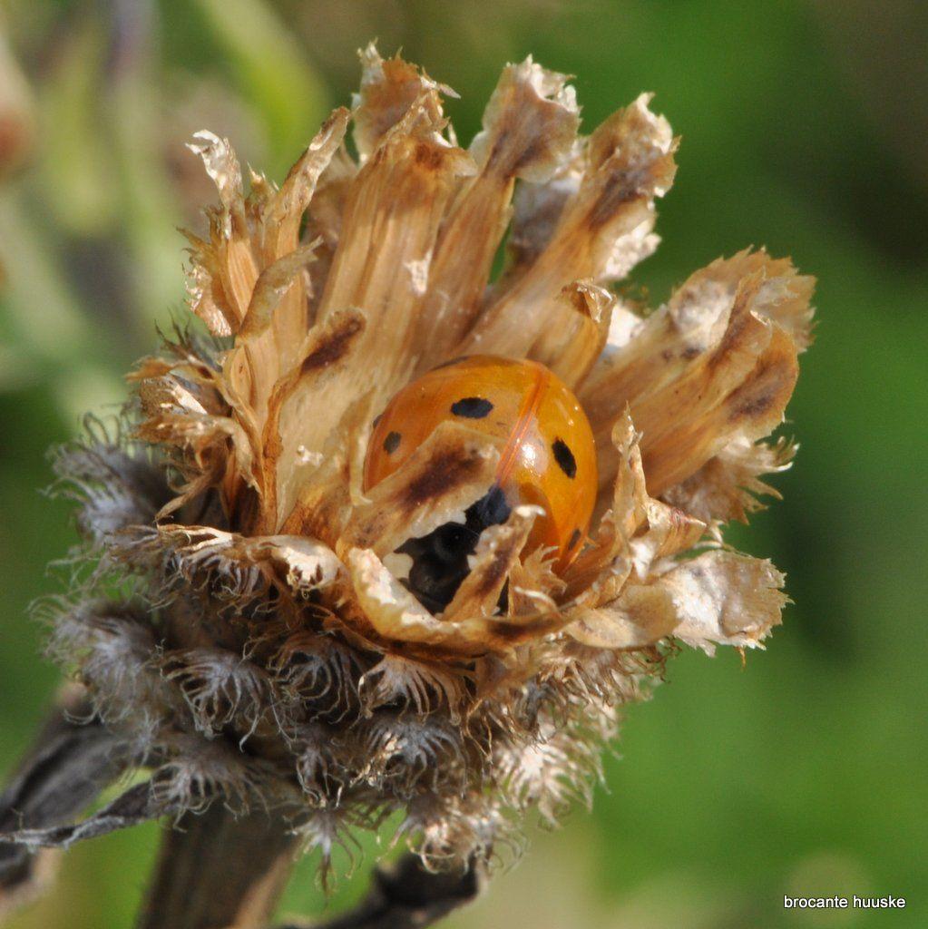 ladybug lieveheersbeestje