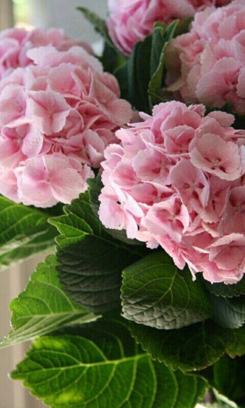 Resultado de imagen de hortensias de color rosa pinterest