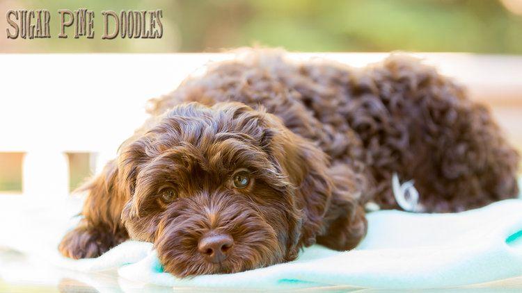 Available Puppies — Sugar Pine Doodles, Australian