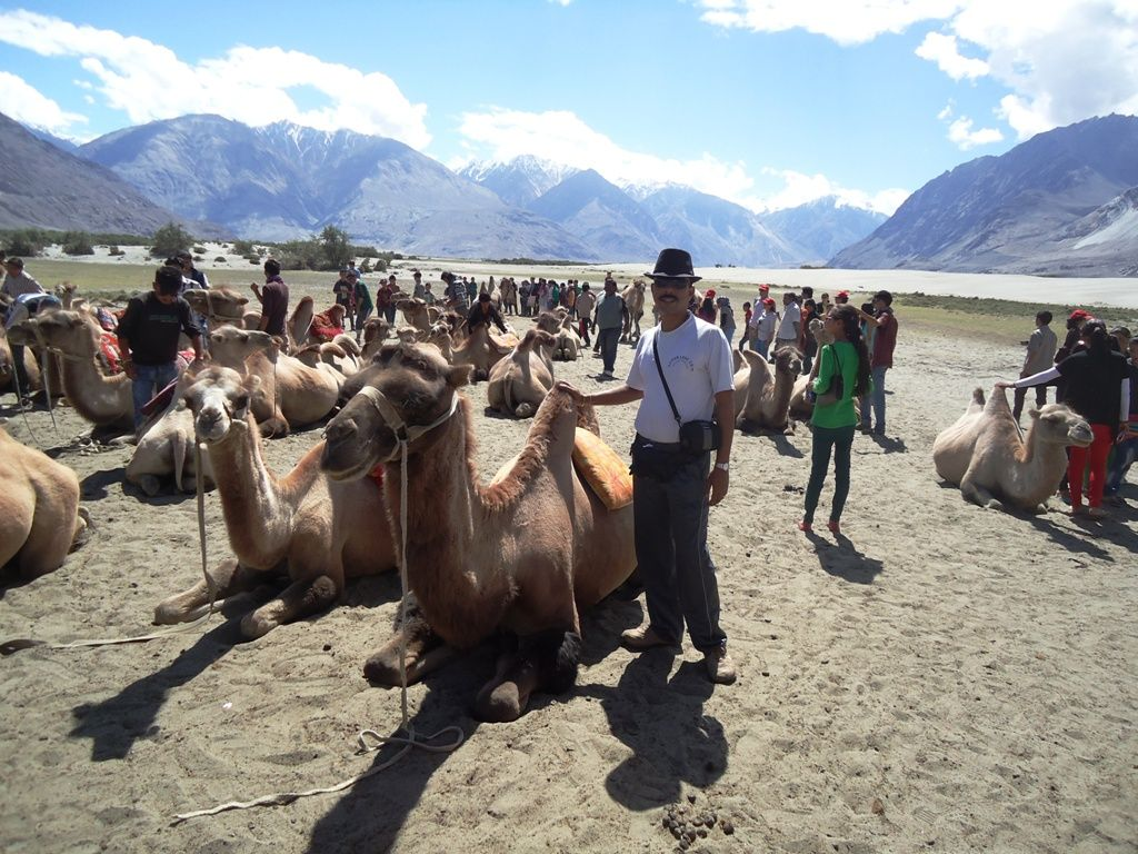 Two Humped Bactrian Camel Ride Is The Greatest Tourist Attraction Of Hunder Desert At Nubra Valley In Ladakh Kashmir India