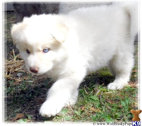 Wolamutes For Sale Puppies A Wolf Dog Pup For Sale Located