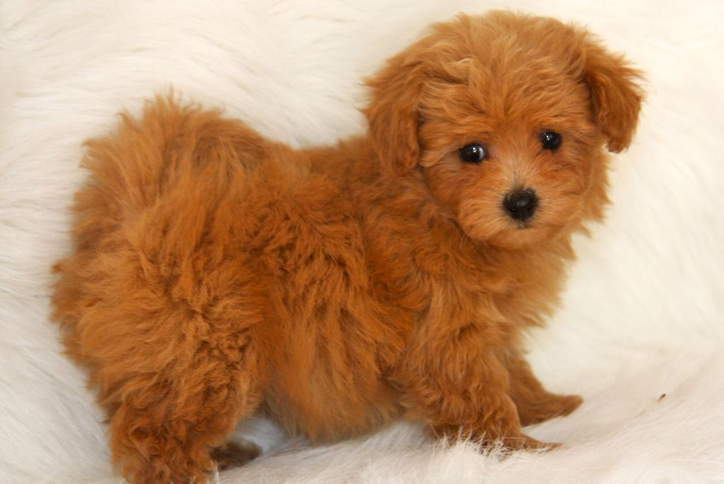 Just Love The Ones With The Apricot Coats Maltipoo Puppy Best Small Dogs Best Small Dog Breeds