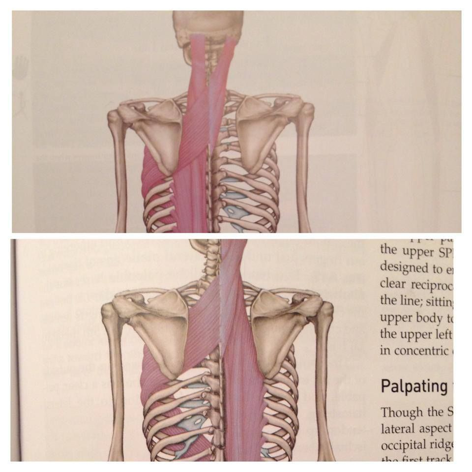 Did you see in the new edition of Thomas Myers Anatomy Trains he ...