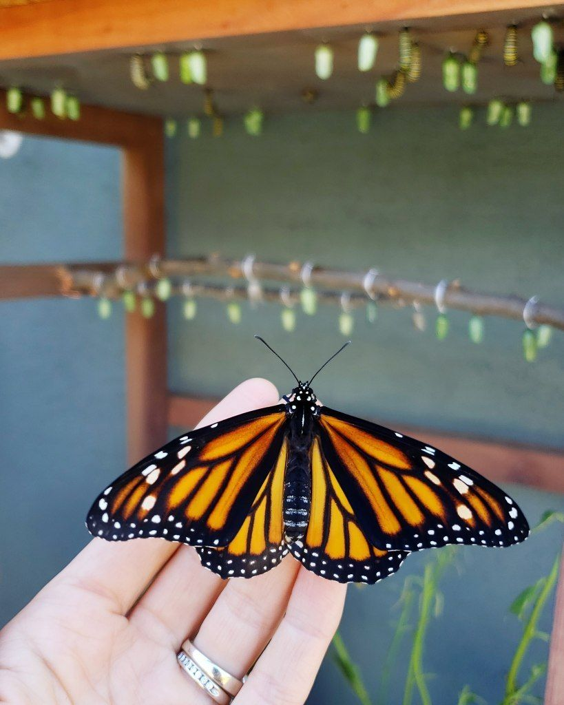 All About Monarchs: How to Attract, Raise, & Release Monarch Butterflies ~ Homestead and Chill