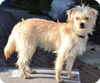 Millie Adopted Puppy Simi Valley Ca Shih Tzu Terrier