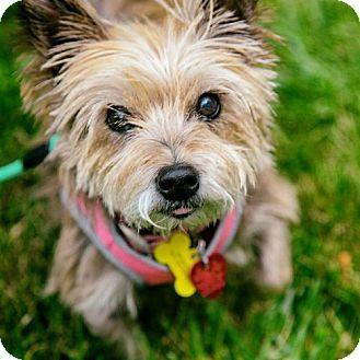 Arlington Va Norwich Terrier Mix Meet Olivia A Dog For
