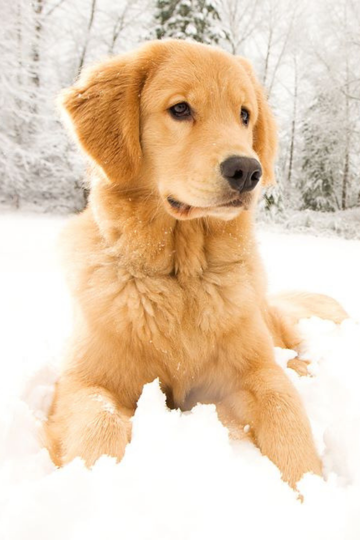 A Beautiful Golden Retriever Playing Outside In Cold Winter Snow Goldenretri Golden Retriever Service Dog Golden Retriever Golden Retriever Puppy Photography