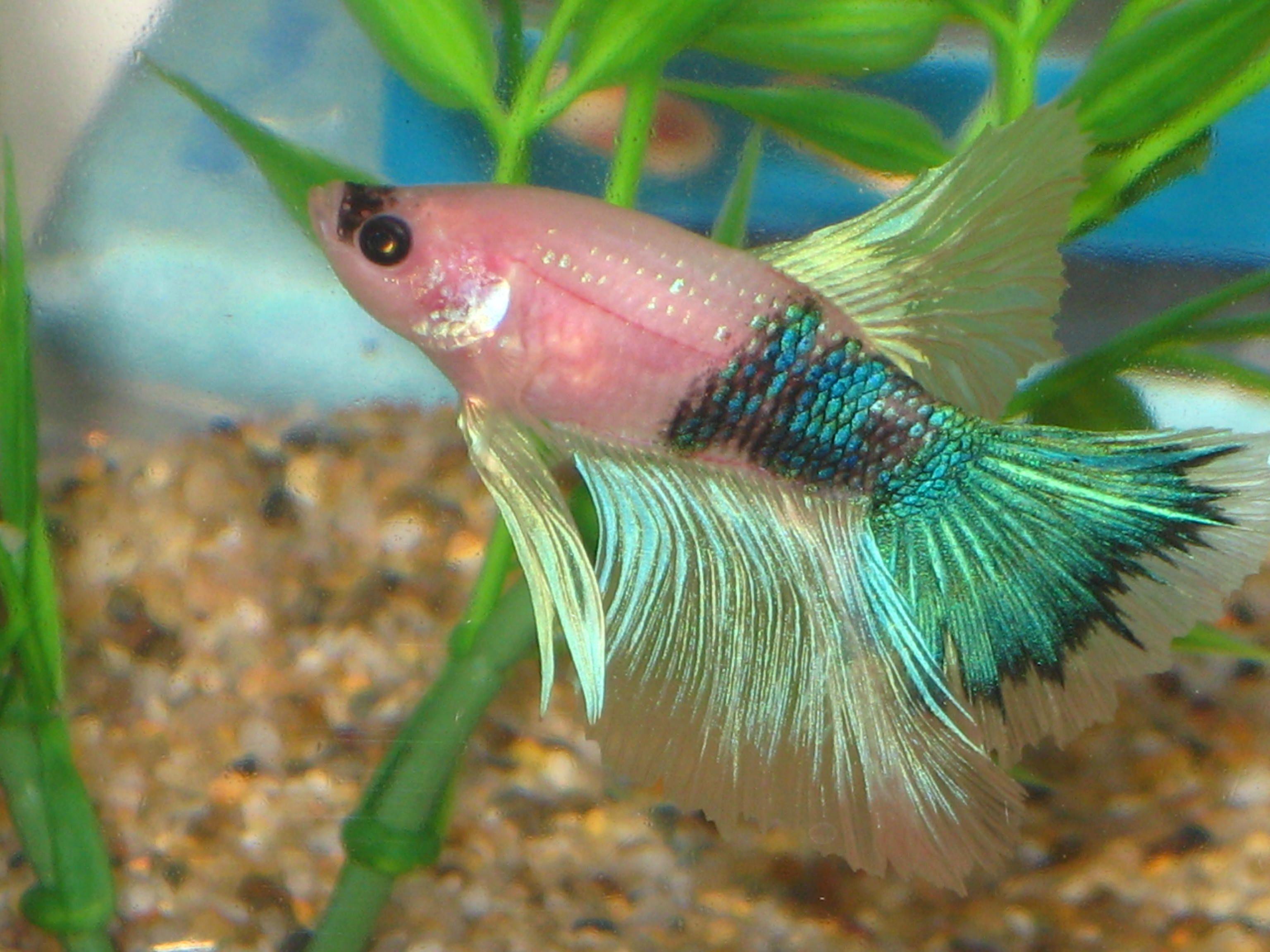 betta fish beauty queen | VIDA AQUATICA (Mares,Rios, Lagos, Lagoas ...