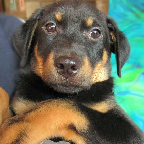 Pin On Gsd Puppies For Adoption