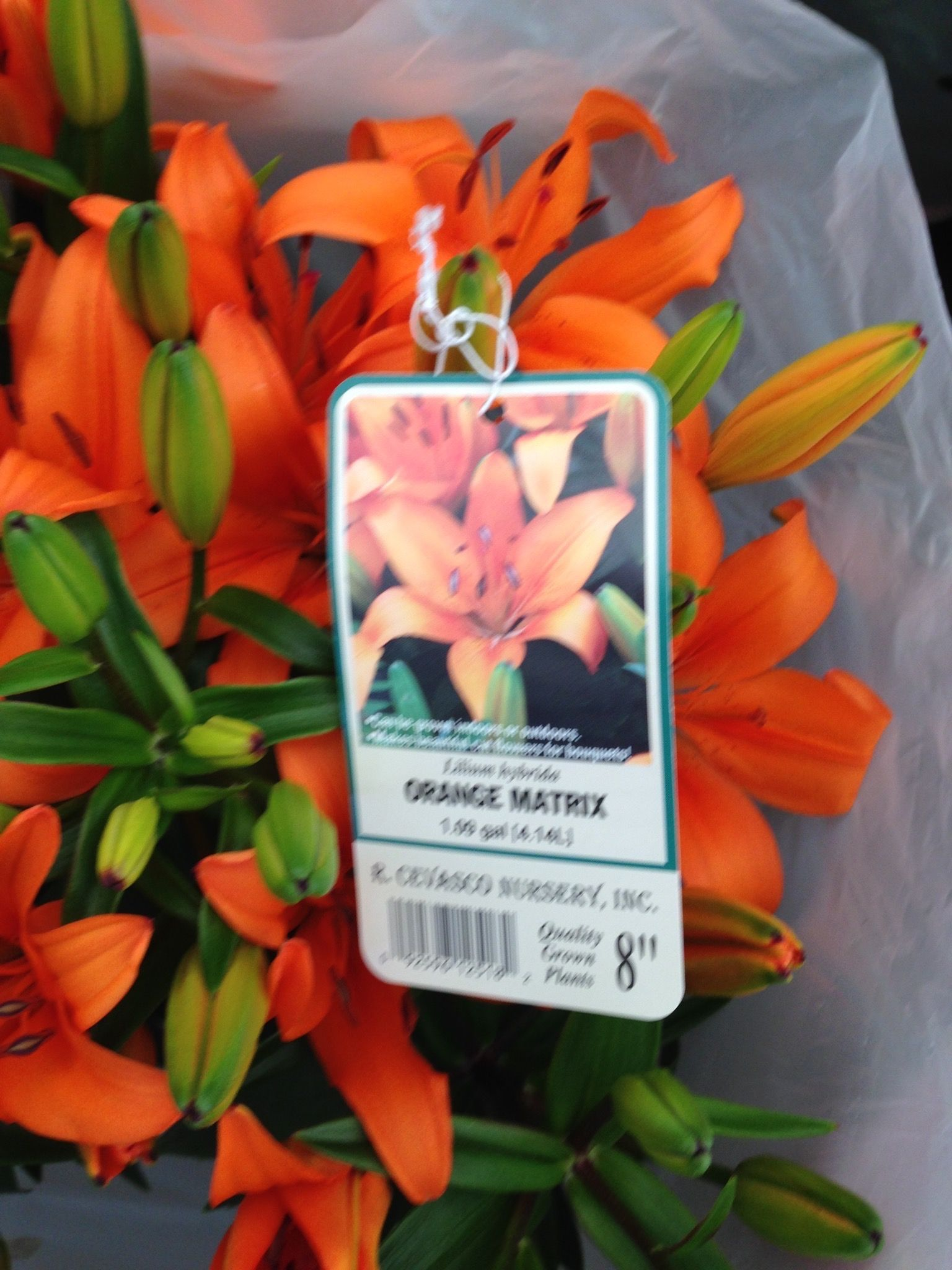 22. Orange Matrix Lilly - plant near citrus trees