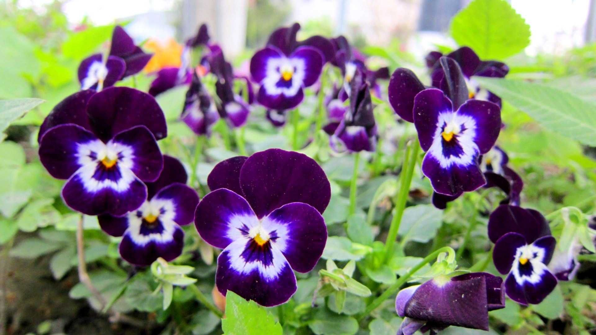 Pansy Flower Hd Wallpapers For Desktop Best Collection