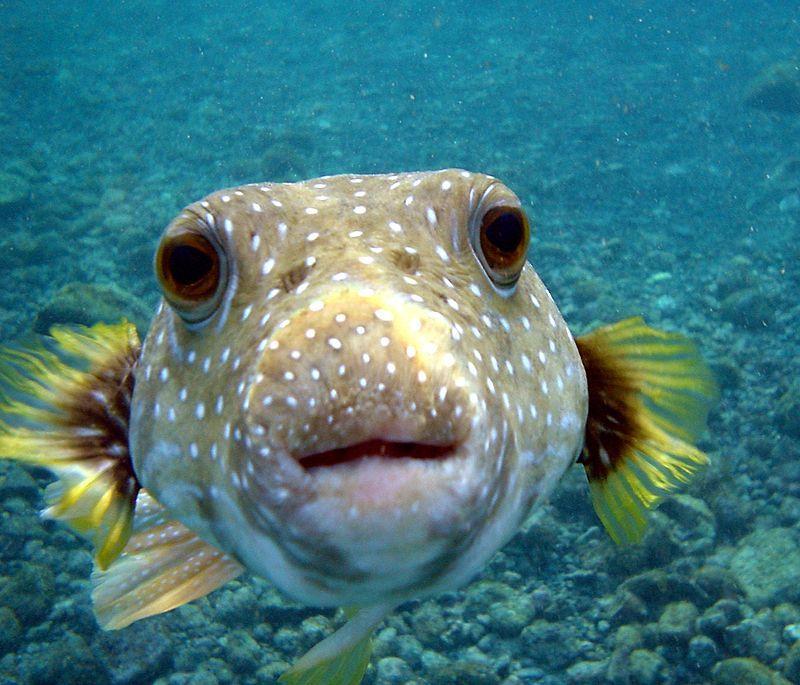 Tetraodontidae Wikipedia The Free Encyclopedia Animals Ocean Animals Animal Facts