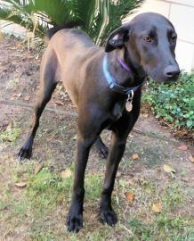 Texas Urgent Gigi Is A Spayed 1yo Black Labrador Retriever In