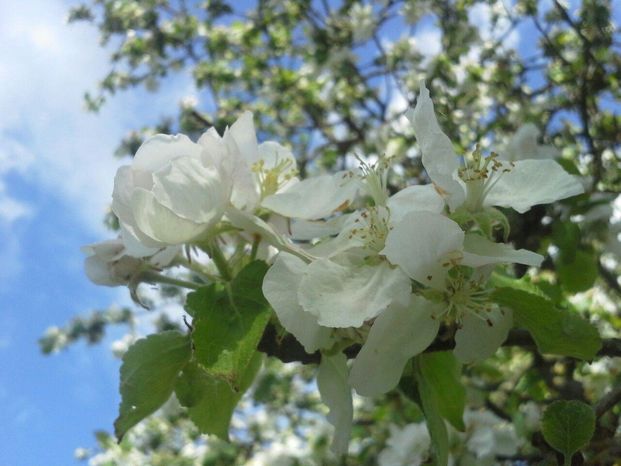 Apfelbaum in voller Blüte  #apfelblüte #Frühling