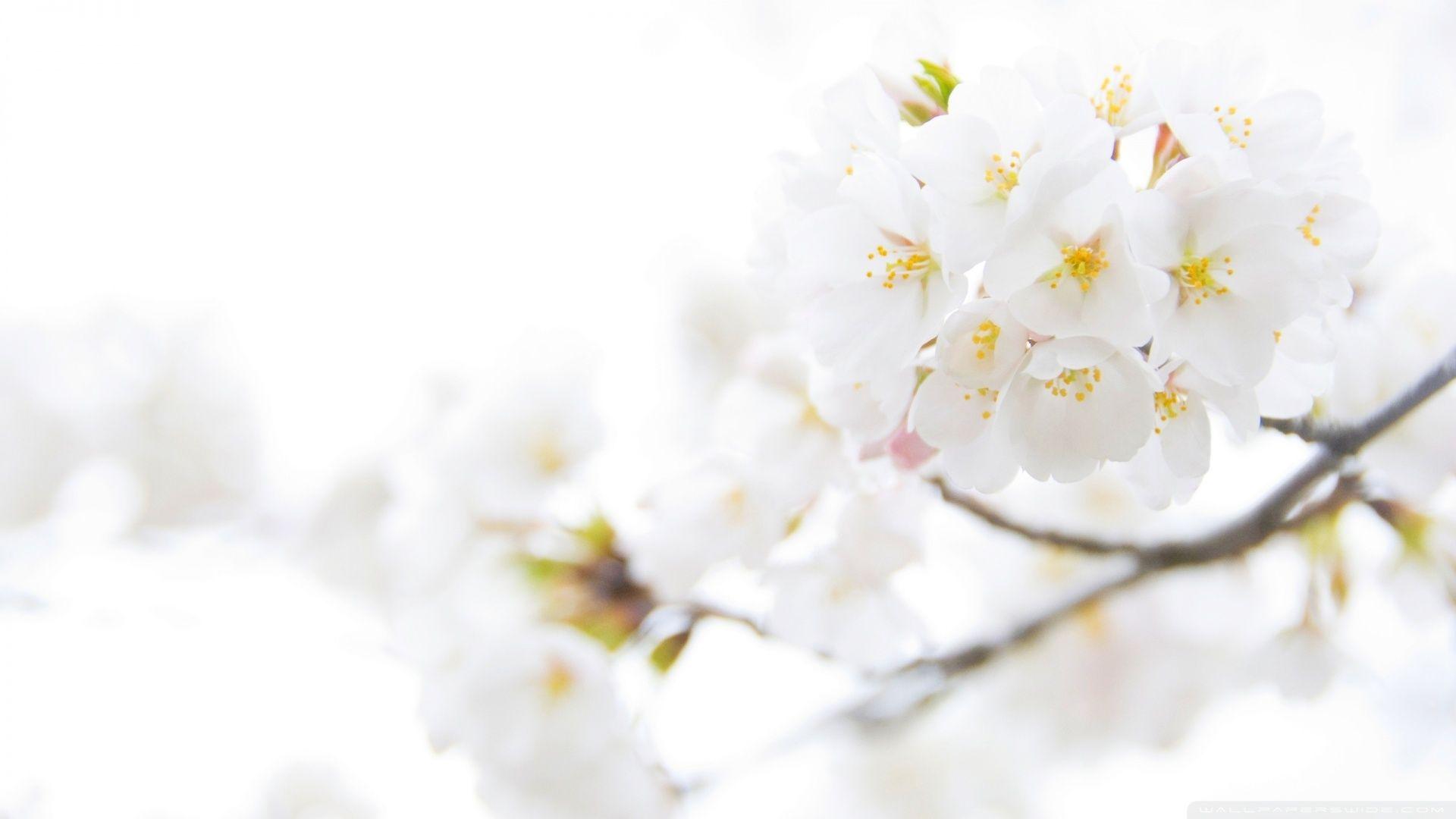 White Flower Hd Wallpapers White Flower Wallpaper Spring Flowers Wallpaper White Flowers