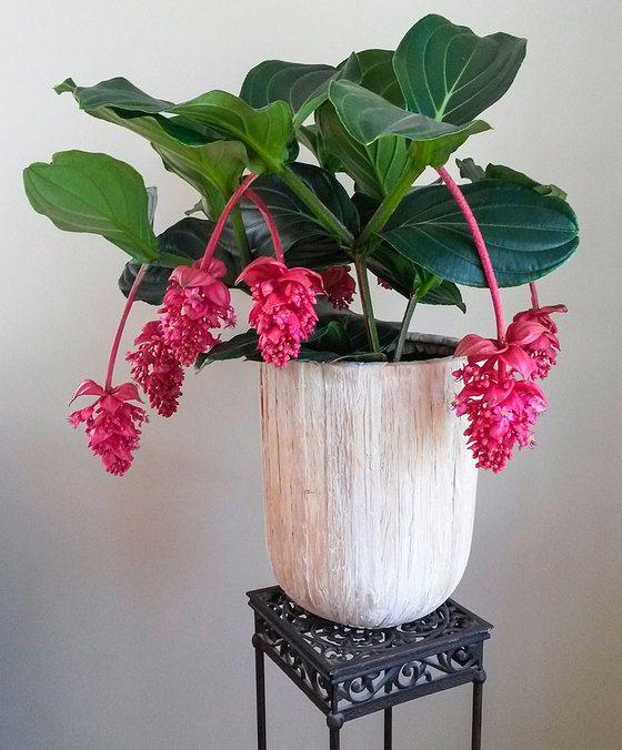 Medinilla magnifica \'Flamenco\' | Gardening | House Plants, Plants ...