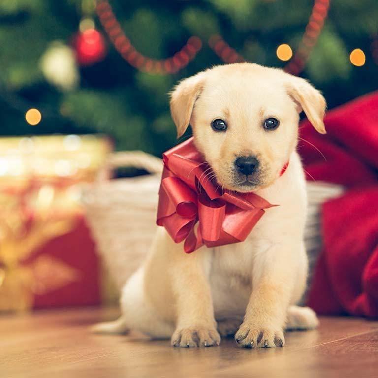 Offrir un animal de compagnie pour Noël, pourquoi c'est une fausse