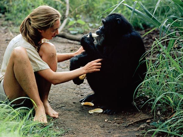 Jane Goodall, seen in an undated picture with a wild chimpanzee.
