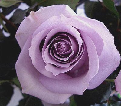 1 X Fragrant Lavender Cottage Garden Climbing Rose Plant