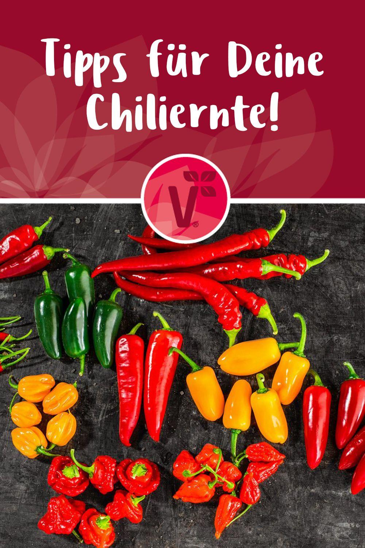 Tipps Fur Deine Chiliernte Chilis Haltbar Machen Chili Chili Pflanzen Chili Einlegen