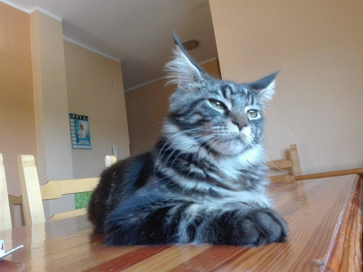 Pin On Baloo The Maine Coon