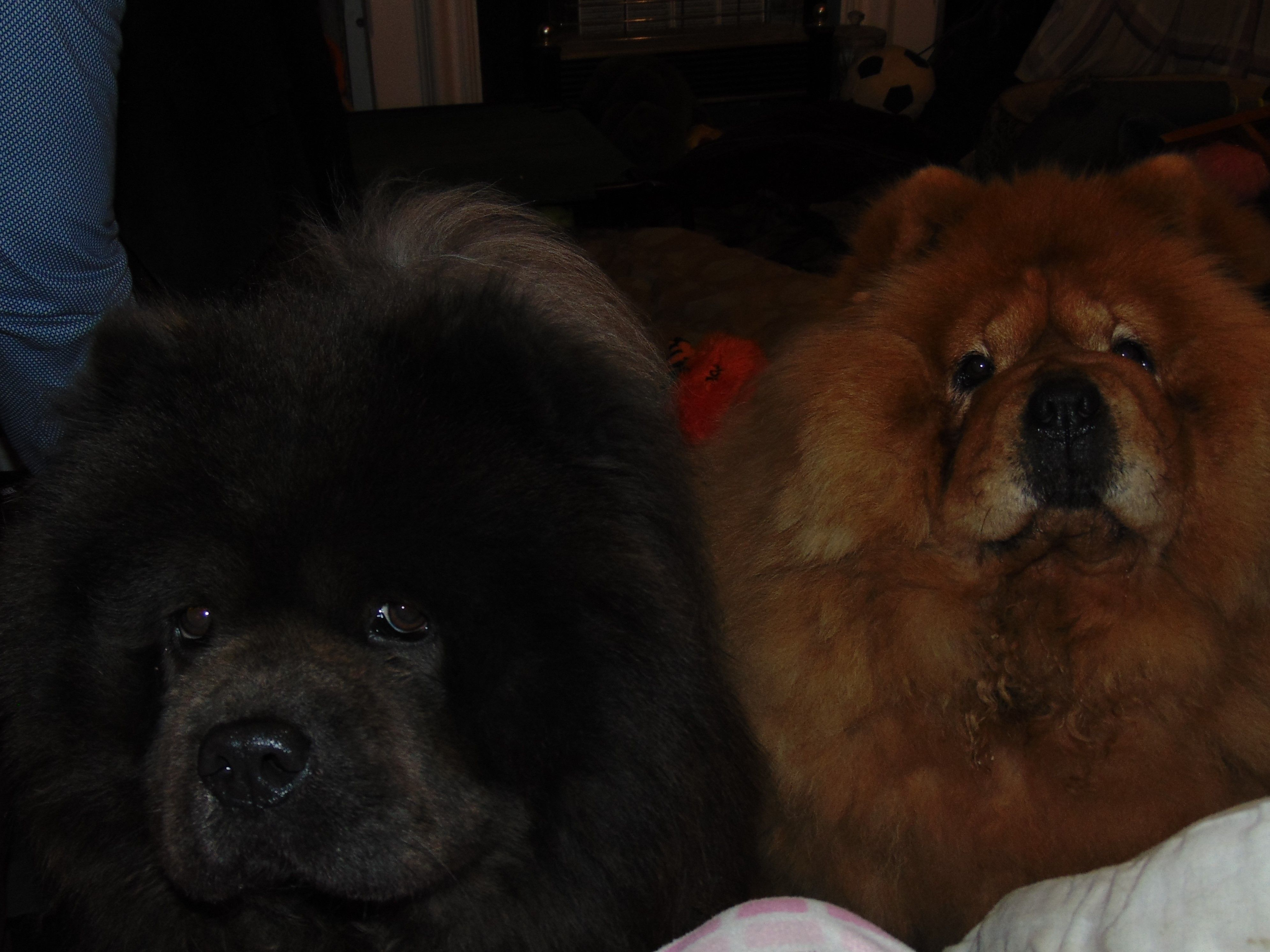 Vasili Blue Chow Chow And Mishka Cinnamon Chow Chow Looking
