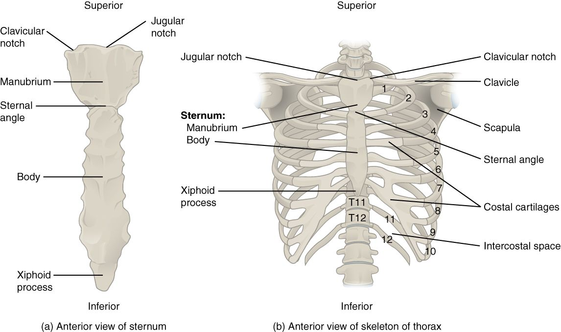 The Thoracic Cage; Ribs (1-7 true ribs), (8-12 false ribs) and (11 ...