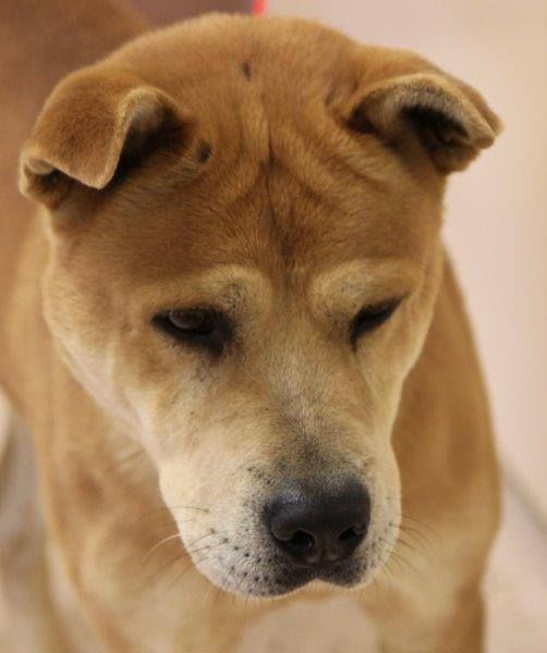 """Mango is a large chow mix who has been at the shelter for three months. He needs a home with lots of running room and extra love to make up for the time he has missed. ""  Mango ID# 12/12-3486 Shar Pei Mix • Adult • Male • Large Henry County Animal Control Shelter McDonough, GA http://www.petfinder.com/petdetail/28189330/ https://www.facebook.com/207439919282248/photos/a.798582990167935.1073741825.207439919282248/798590943500473/?type=1"