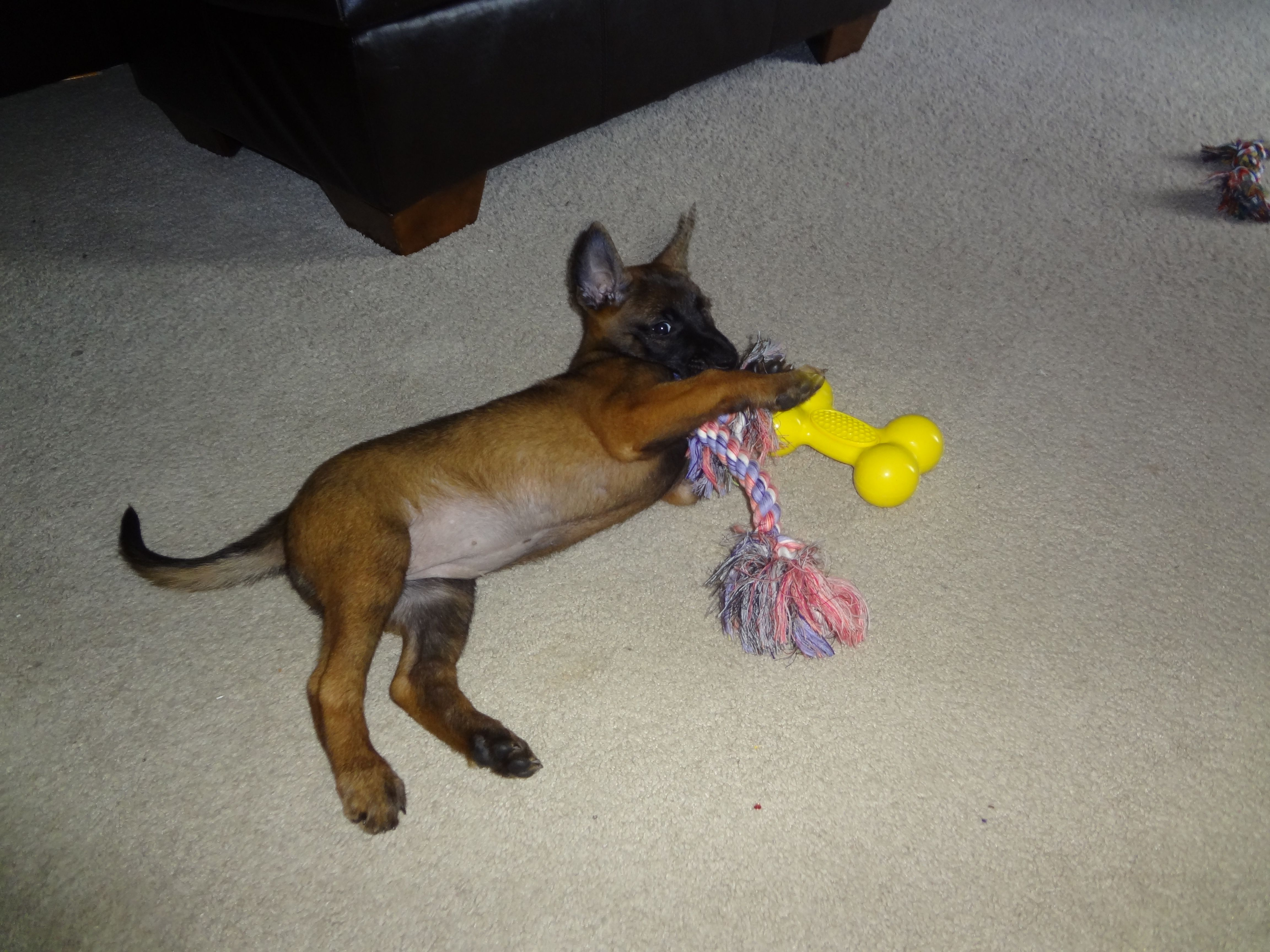 Savvy Playing With Her New Toys Belgian Malinois Malinois New Toys