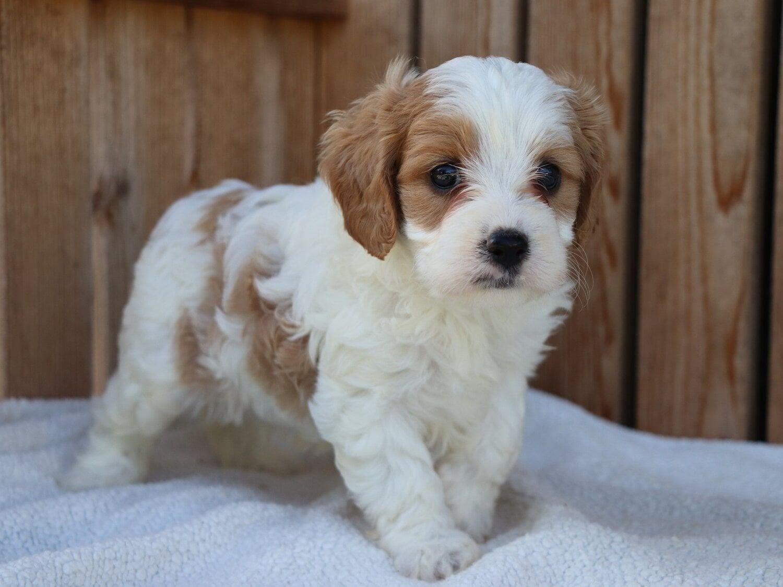 Blenheim Mini Cavalier X Mini Poodle Cross Crockett Doodles Doodle Puppy Puppies