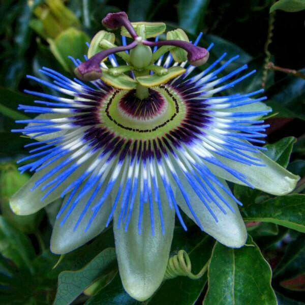 This Flower Is Called Krishna Kamal Passion Flower It Has 100 Violet Leaves Called Kaurava In The Ce Blue Passion Flower Passion Flower Passiflora Caerulea