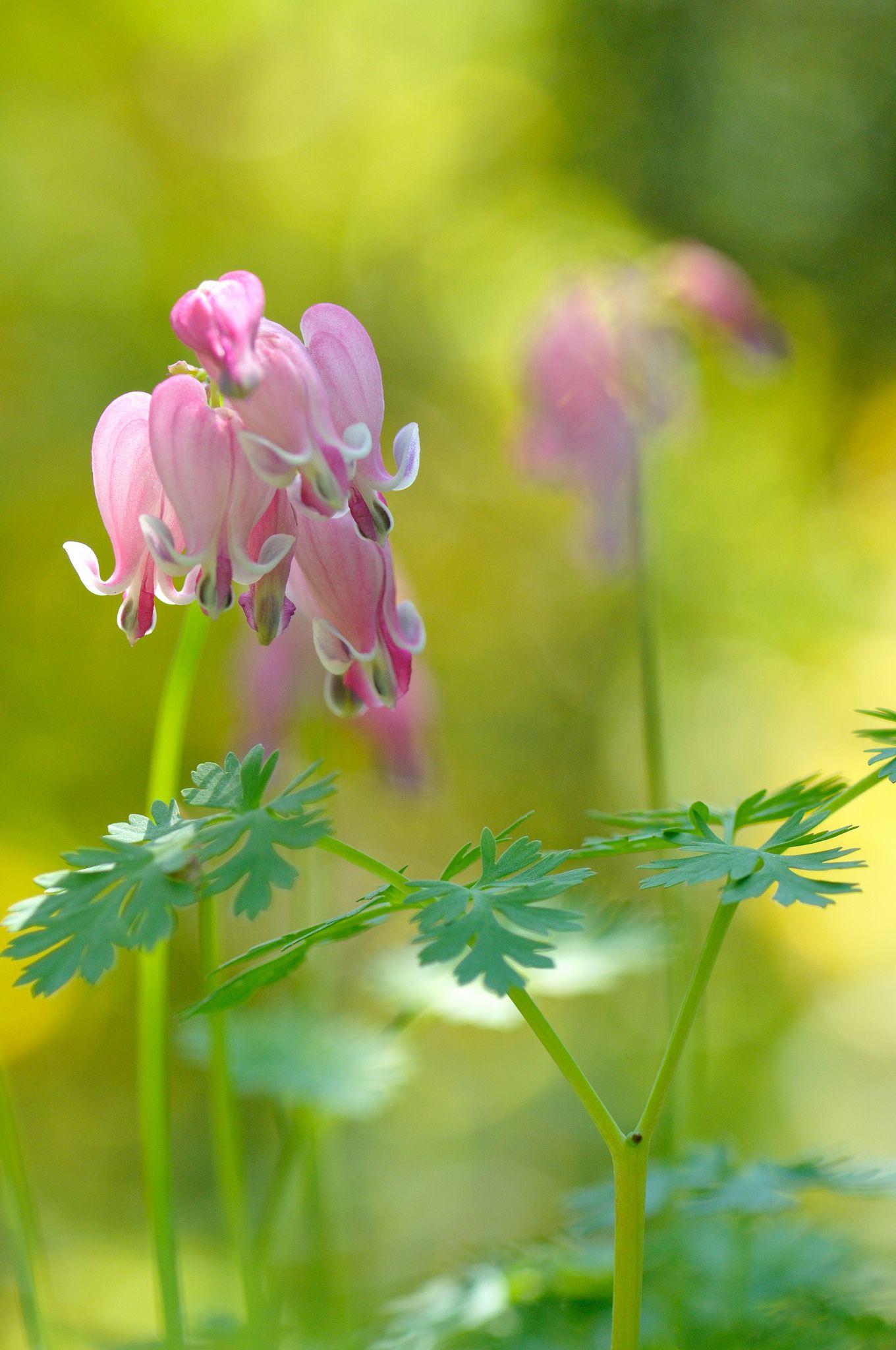 四季咲きコマクサ 野の花 flowers beautiful flowers bleeding