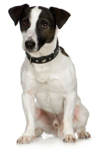 Black White Jack Russell This Looks Like My Little Speckle Boy