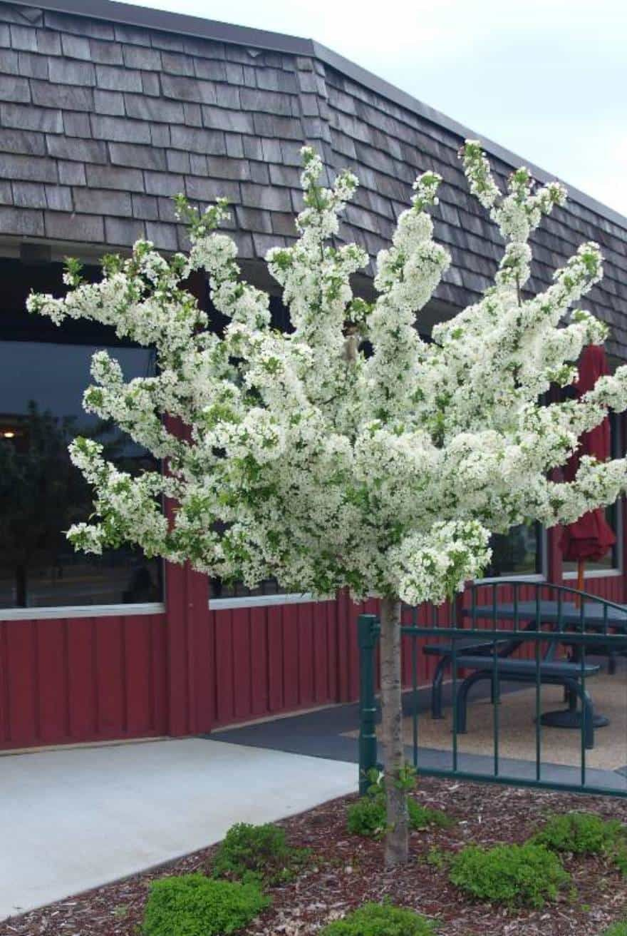 See The Source Image Dwarf Trees For Landscaping Trees For Front Yard Small Trees For Garden