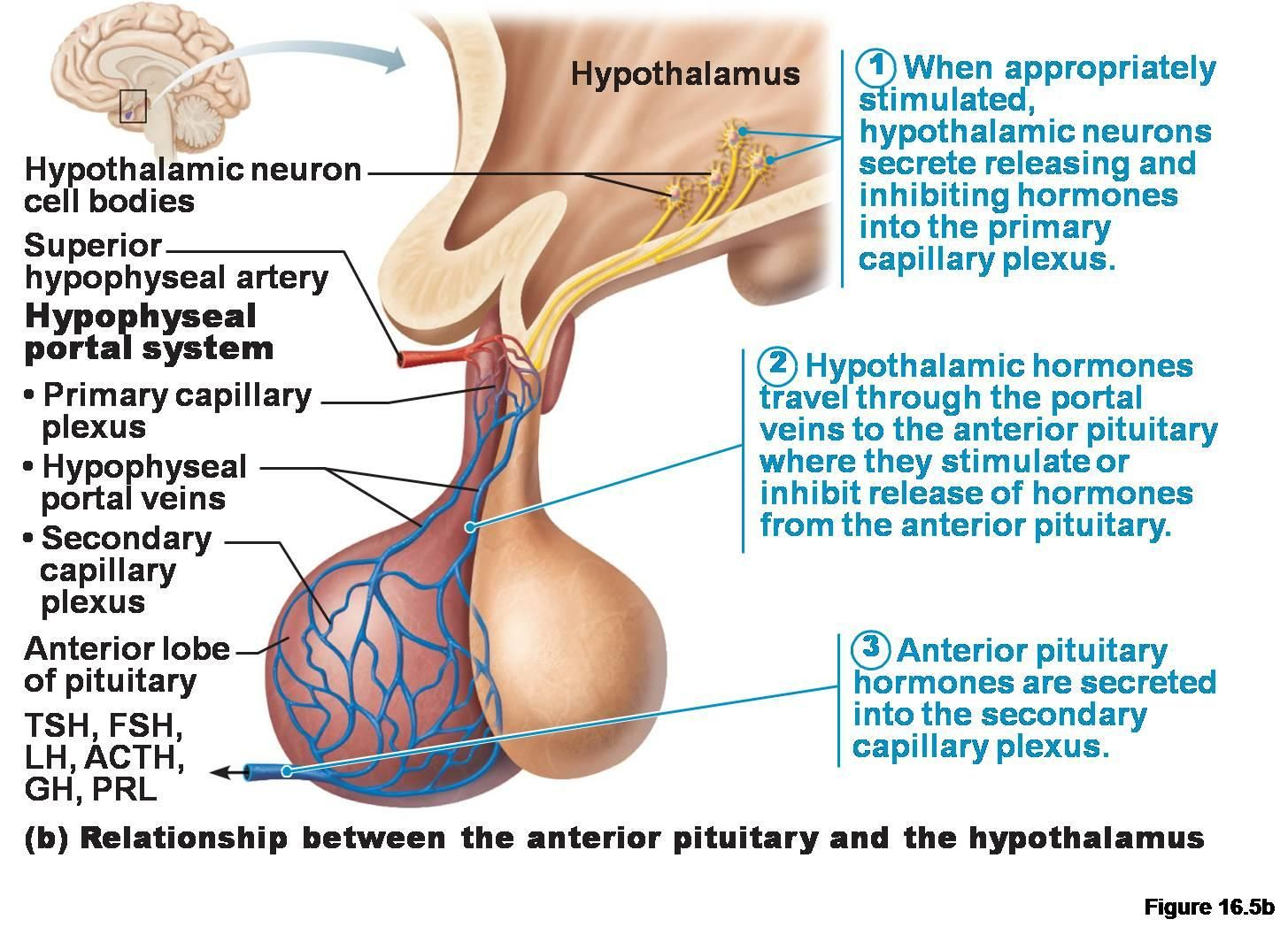 Anterior Pituitary Gland | Anatomy & physiology | Pinterest
