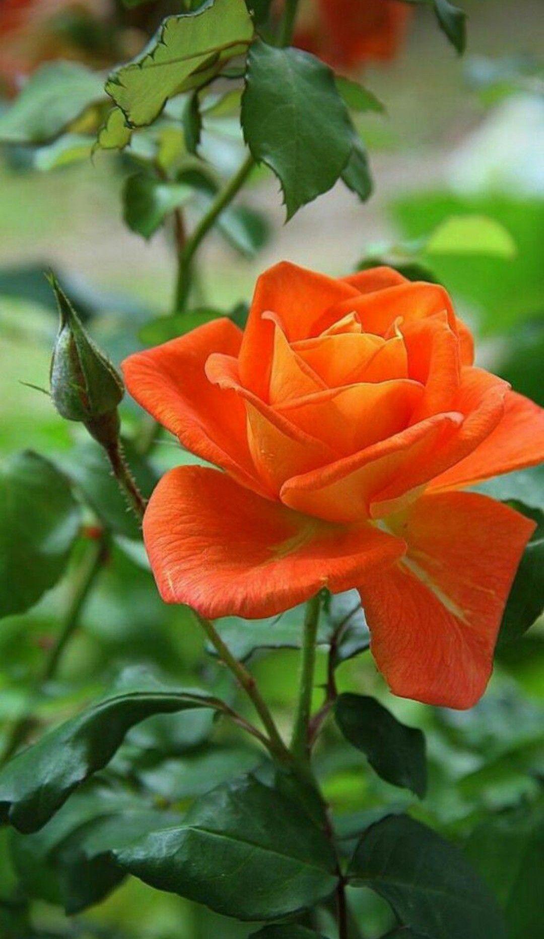 Sanjana V Singh Roses Pinterest Flowers Beautiful Flowers And