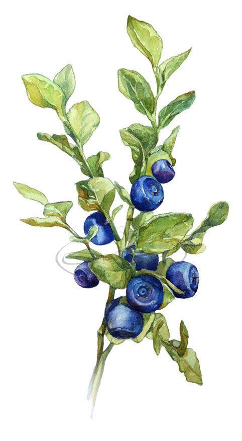 Watercolor botany on Behance Like & Repin. Noelito Flow. Noel http://www.instagram.com/noelitoflow